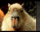 Conheça 15 capivaras que são iguaizinhas ao Rafael Nadal