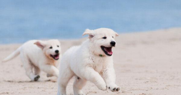 Cães de pelagem branca precisam de cuidados especiais - Bichos ...