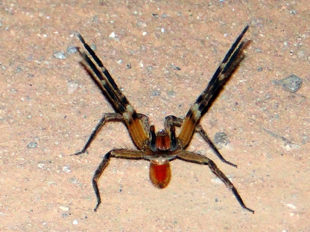 Fotos de aranhas marrom 18