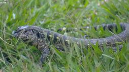 Diego Grossi se surpreende com visita de lagarto no jardim (Reprodução)