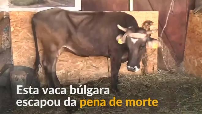 Vaca sem documentos é poupada da pena de morte na Bulgária