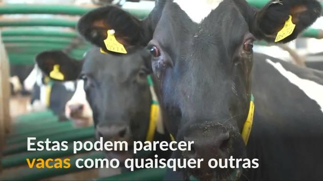 Vacas conectadas à rede 5G testam conectividade em zona rural