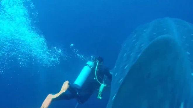 Cientistas tentam decifrar mistérios do maior peixe do mundo