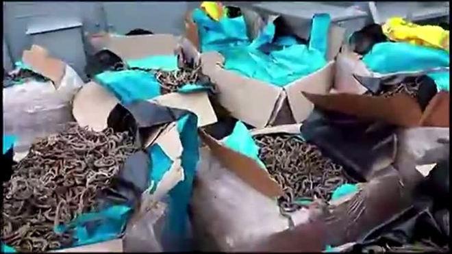 Milhões de cavalos-marinhos são encontrados em barco no Peru