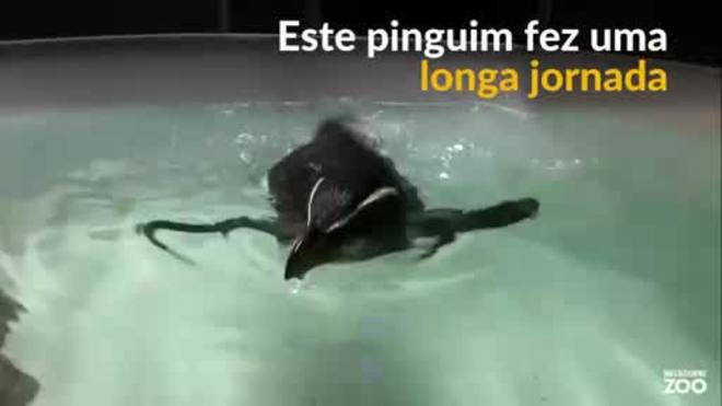 Um pinguim resgatado após jornada pelo Mar da Tasmânia