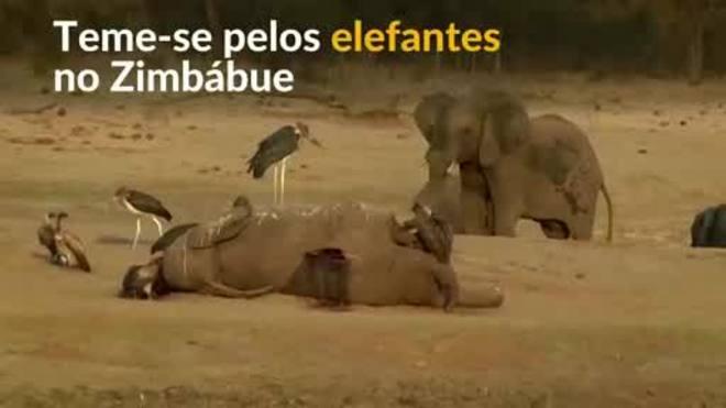 Cresce temor por população de elefantes no Zimbábue