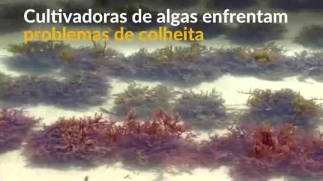 Os efeitos da mudança climática na safra de algas marinhas