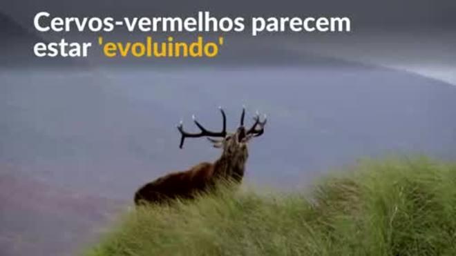 Cervo-vermelho escocês 'evolui' devido à mudança climática