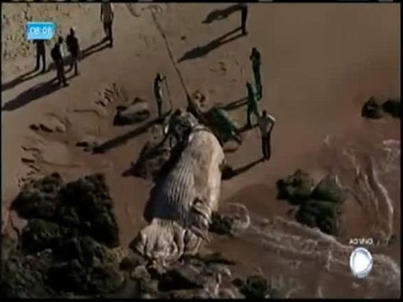 Vídeo: baleia é encontrada morta na praia de Armação, em Salvador