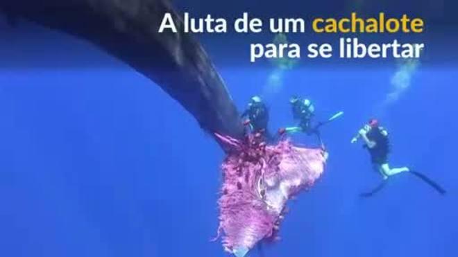 Baleia cachalote luta para se libertar de rede de pesca na Itália
