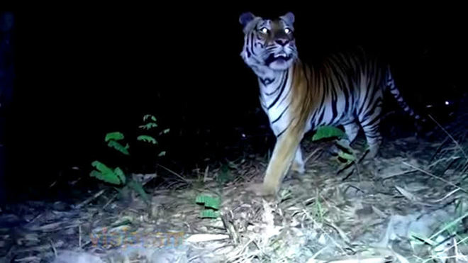 Tigres de espécie ameaçada são filmados em floresta na Tailândia