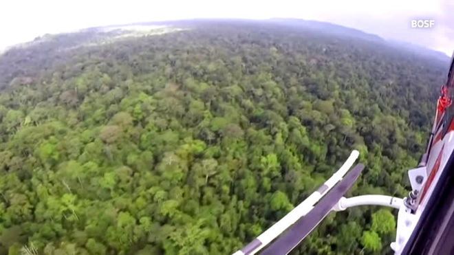 Helicóptero devolve 10 orangotangos à natureza