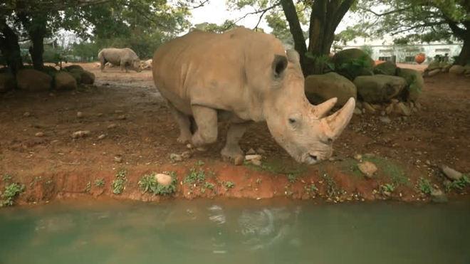 Rinoceronte branca do sul terá encontro romântico no Japão