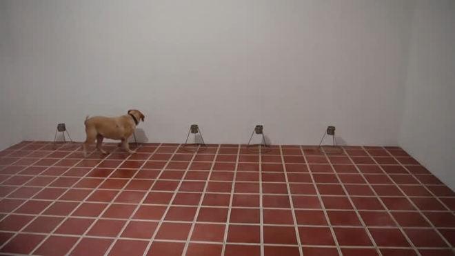 Cães são treinados para detectar covid-19 em poucos segundos