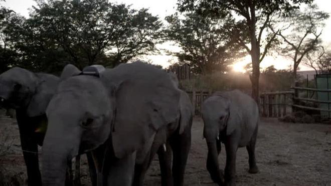 Seis filhotes de elefantes órfãos retornam à natureza