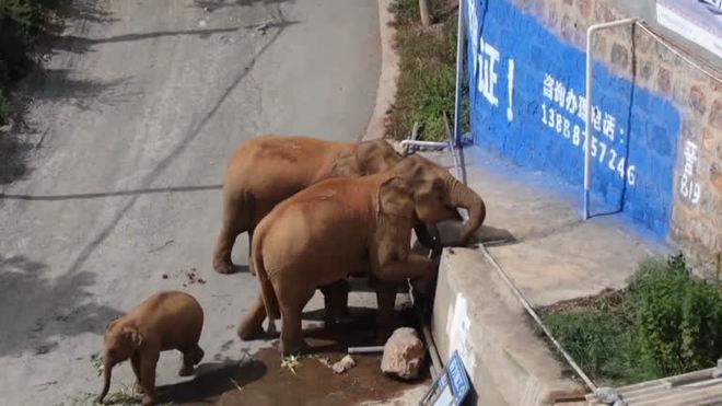 Caminhões tentam controlar manada de elefantes na China