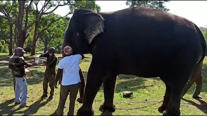 Elefantes fazem teste de covid-19 na Índia após morte de leoa