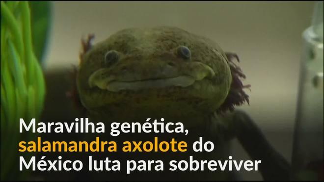 Salamandra axolote do México luta para sobreviver na natureza