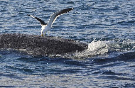 A população dessas gaivotas cresceu devido ao aumento de lixo e dos resíduos da indústria pesqueira