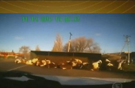 Motorista de caminhão capotou o veículo carregado com vacas na Rússia