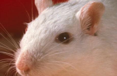Os ratos não eram capazes de distinguir entre a luz e a escuridão