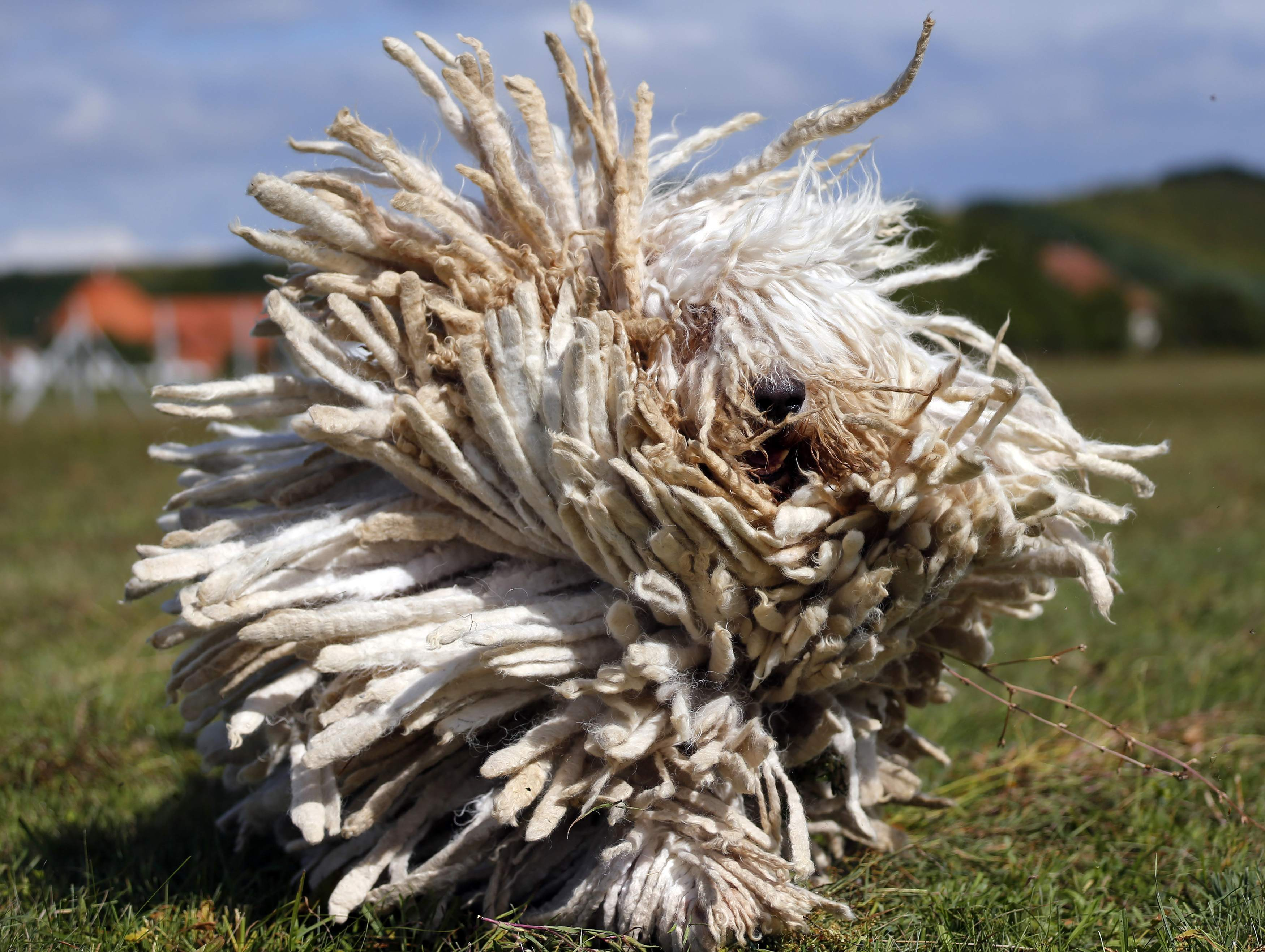 Acredite, isso é um cachorro! Cães 'rastafári' são tradicionais na Hungria