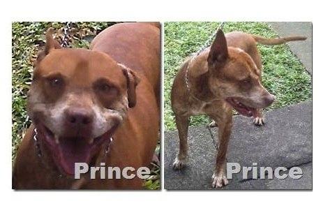 Pit bull Prince vivia no santuário para a raça desde maio de 2011