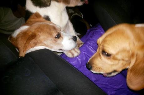 Cães da raça beagle foram resgatados de laboratório por ativistas