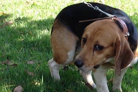 Cerca de 170 beagles foram retirados de instituto por ativistas