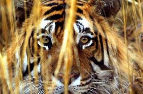 Escolas da região fecharam as portas devido os incidentes envolvendo a tigresa