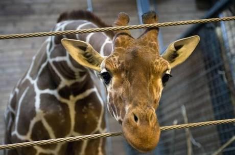 Marius foi morto com um tiro na cabeça no zoológico da capital dinamarquesa