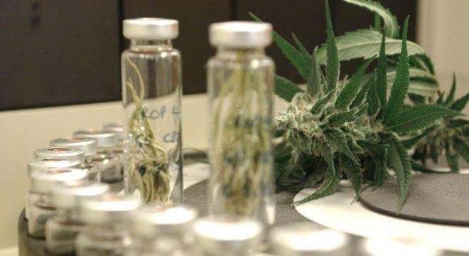 Os medicamentos feitos a partir da planta de maconha tratam diversas doenças