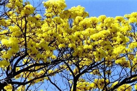 Esta é a primeira pesquisa que envolve árvores de ipê