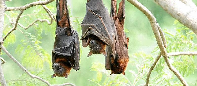 O sistema dos morcegos tem capacidade para trabalhar em três dimensões e permite que eles consigam se orientar em ambientes complexos