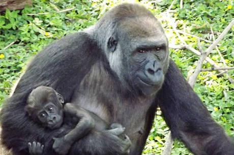Filhote nasceu no dia 10 de setembro em BH; ele e o irmão são as únicas crias da espécie em cativeiro na América do Sul