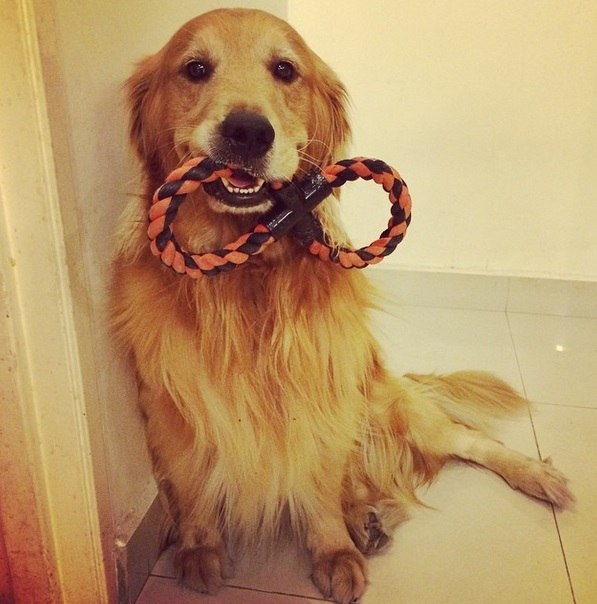 Que Gracinha Cosmo O Golden Retriever Mais Fofo Da Web