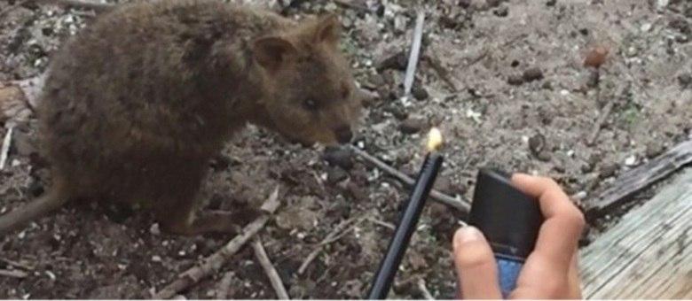 Turistas franceses colocam fogo em animal australiano que corre risco de extinção