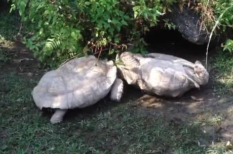 Tartarugas se ajudam em ambiente selvagem