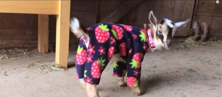 Cabrita de três semanas se diverte de pijama em estábulo