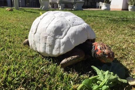Após um ano de cuidados, Freddy ficou pronto para receber o novo casco de proteção e, agora, está recuperada