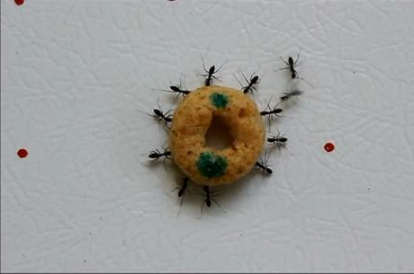 Muitas formigas precisam trabalhar juntas para mover grandes itens
