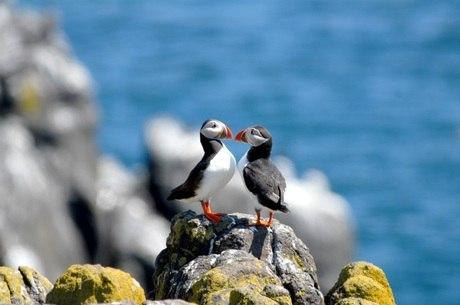 Papagaio do mar, puffin, pode ser visto na Runde Island