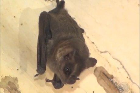 Qualquer mordida de morcego seja investigada