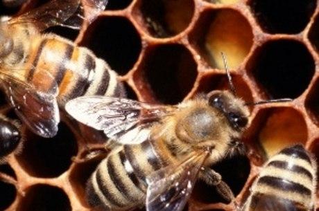 Picada de abelha pode provocar falência nos rins