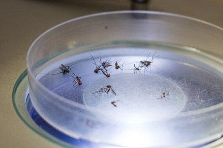 Aedes é mosquito transmissor da dengue, zika e febre chikungunya
