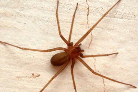 Aranha-marrom é a maior responsável pelos acidentes