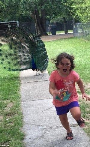 Pavão aterroriza criança em zoológico