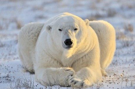 População de ursos polares em um terço durante as próximas décadas