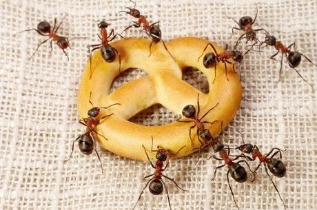 Formigas são muito organizadas, por isso é difícil se livrar delas