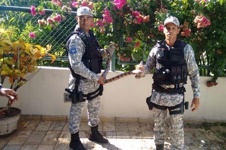 Nesta quinta-feira (26), a Guarda foi acionada para resgatar uma jiboia de aproximadamente 1,60m